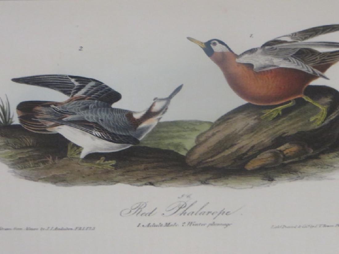 J.J. Audubon. Octavo. Red Phalarope No.339