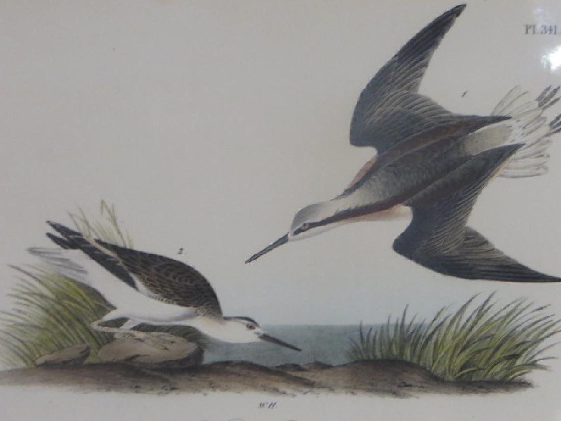 J.J. Audubon. Octavo. Wilsons Phalarope No.341
