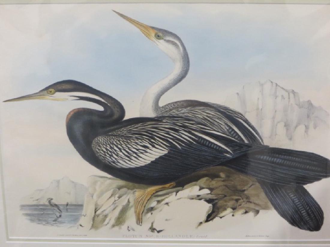 J. Gould Lithograph: New Holland Darter