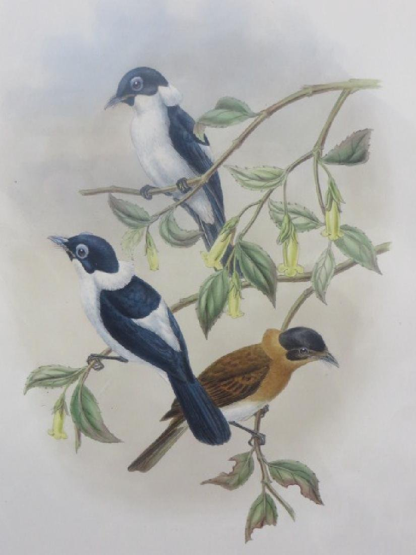 J. Gould Lithograph: Little Frilled-Necked Flycatcher