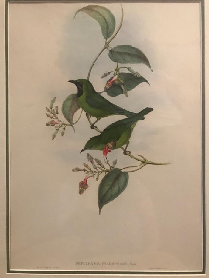J. Gould Lithograph: All Green Phyllornis
