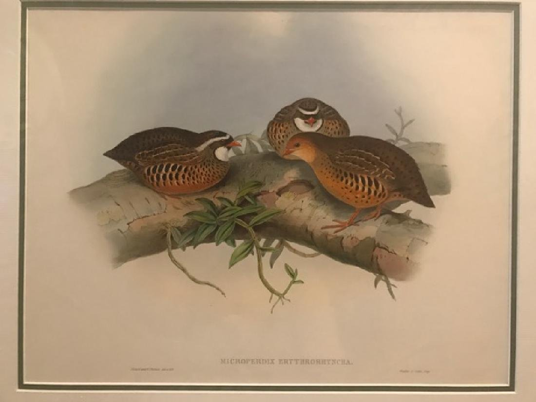 J. Gould Lithograph: Little Red-Billed Partridge
