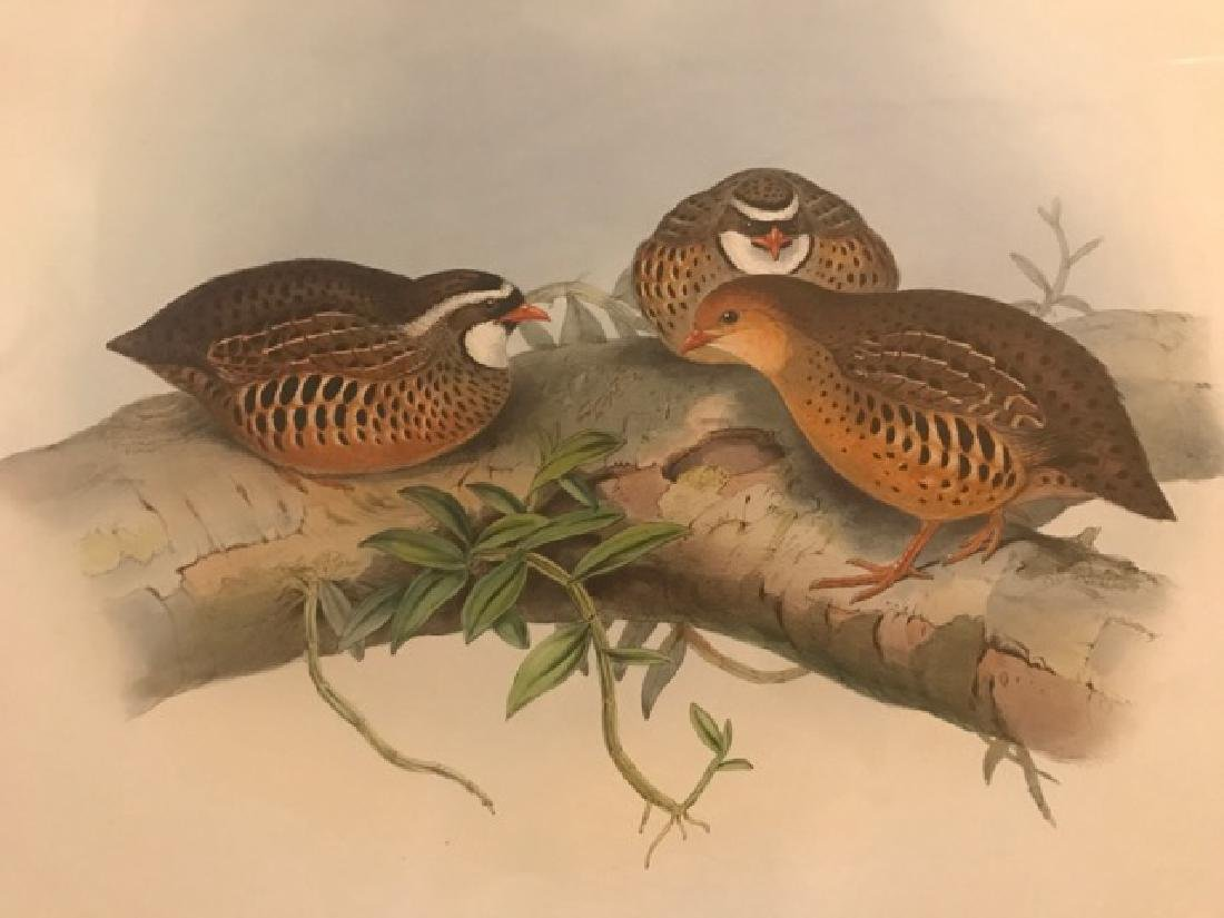 J. Gould Lithograph: Little Red-Billed Partridge - 3