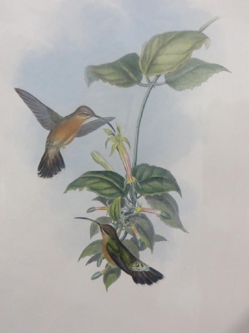 J. Gould Lithograph: Black Tailed Hermit