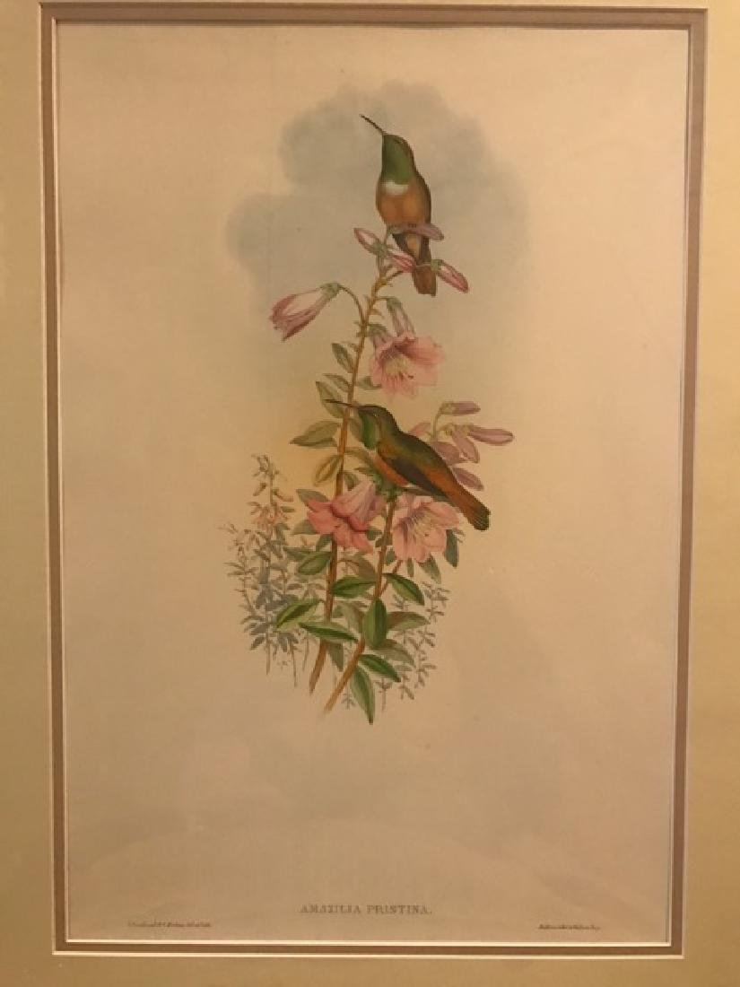 J. Gould Lithograph: Amazili