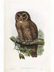 J. Gould Lithograph: Brodie's Owlet