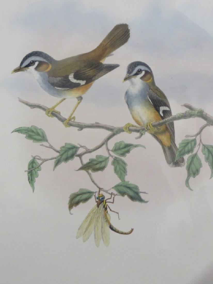 J. Gould Lithograph: Ashy Fronted Flycatcher