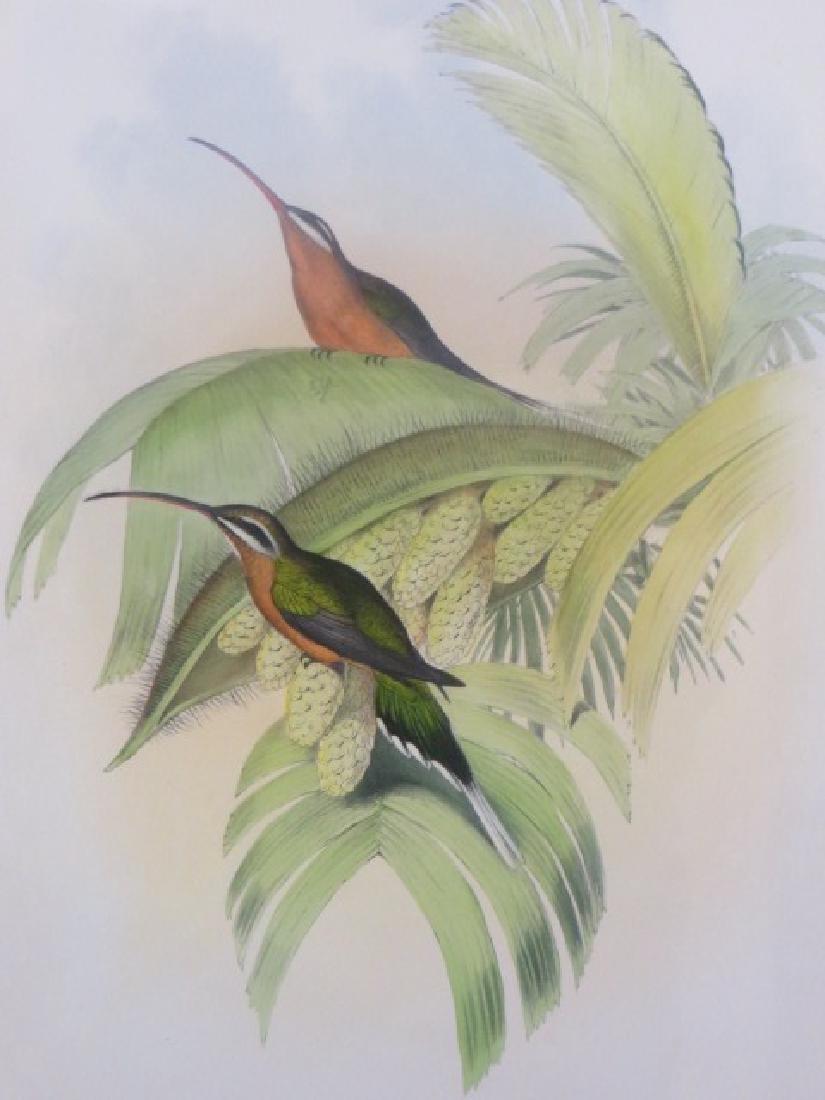 J. Gould Lithograph: Cayenne Hermit