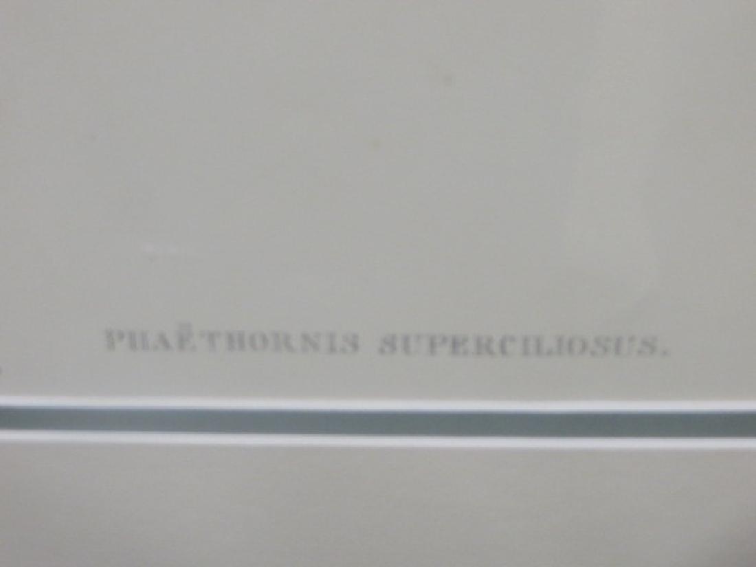 J. Gould Lithograph: Cayenne Hermit - 2