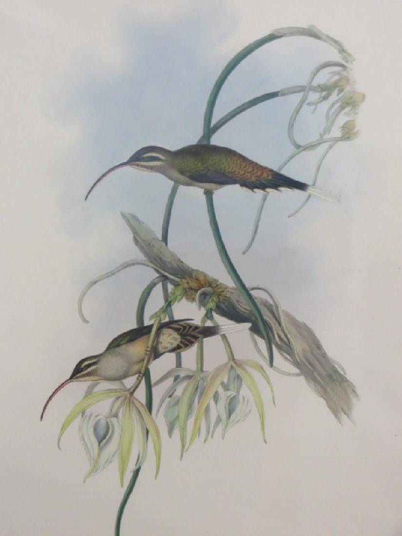 J. Gould Lithograph: Mexican Hermit