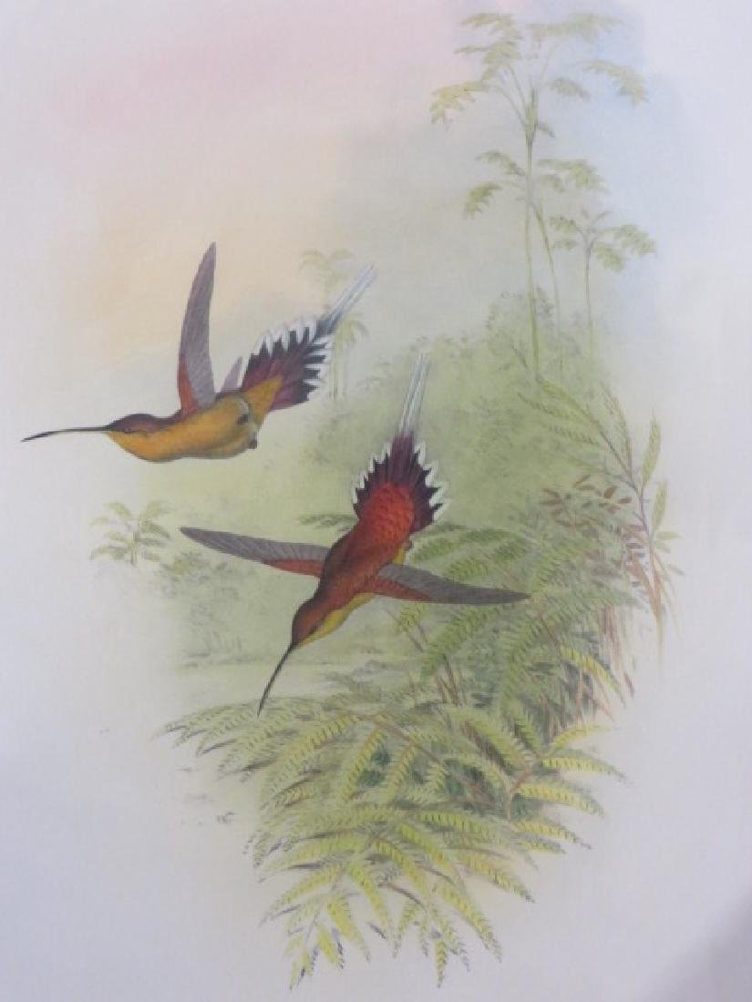 J. Gould Lithograph: Philippi's Hermit