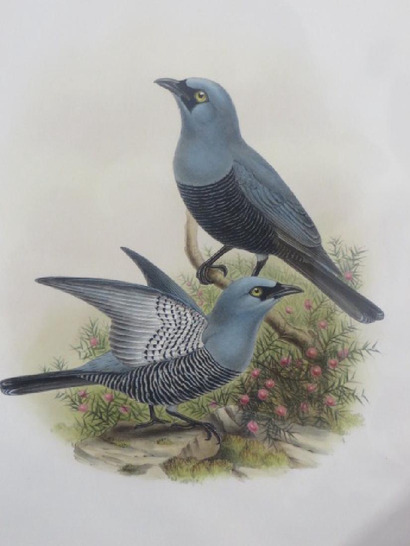 J. Gould Lithograph: Mafoor Island Cuckoo Shrike