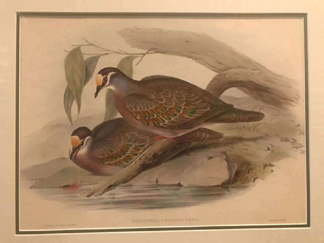 J. Gould Lithograph: Australian Bronze-Winged Pigeon