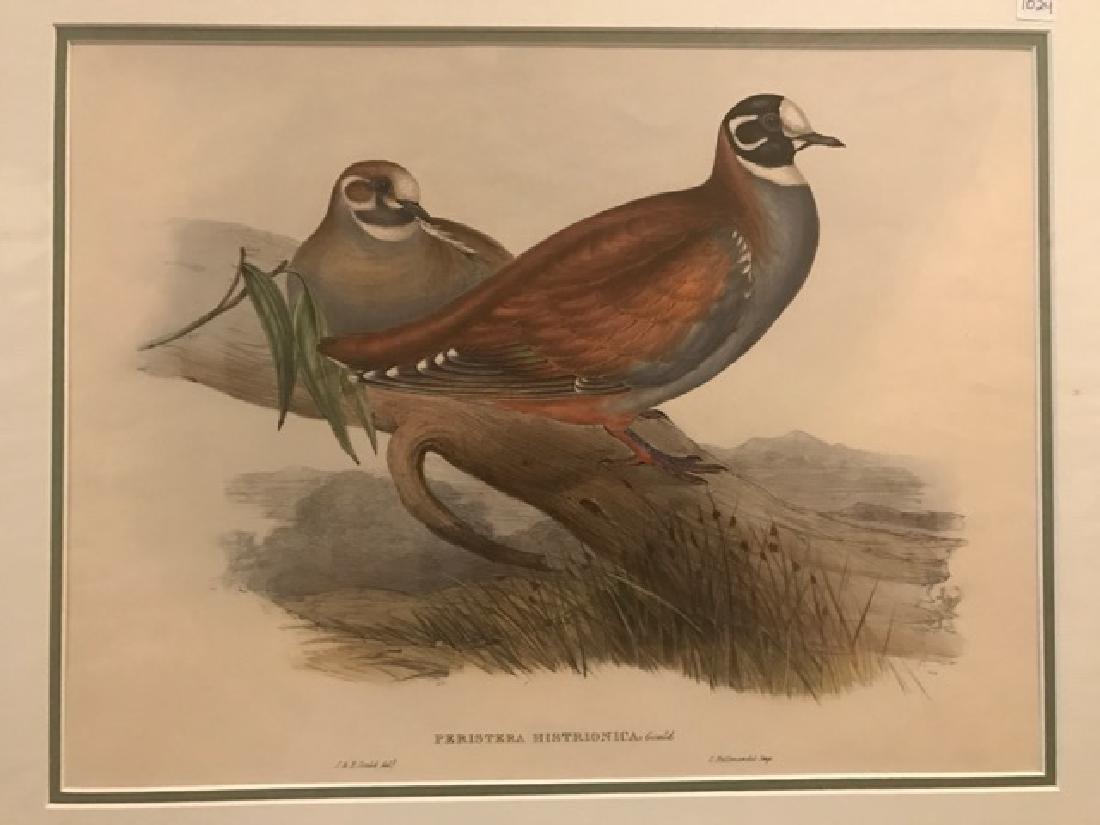 J. Gould Lithograph: Australian Harlequin Bronzewing