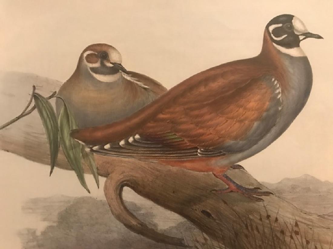 J. Gould Lithograph: Australian Harlequin Bronzewing - 3