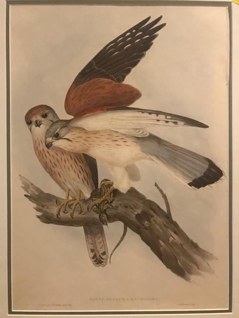 J. Gould Lithograph: Nankeen Kestril