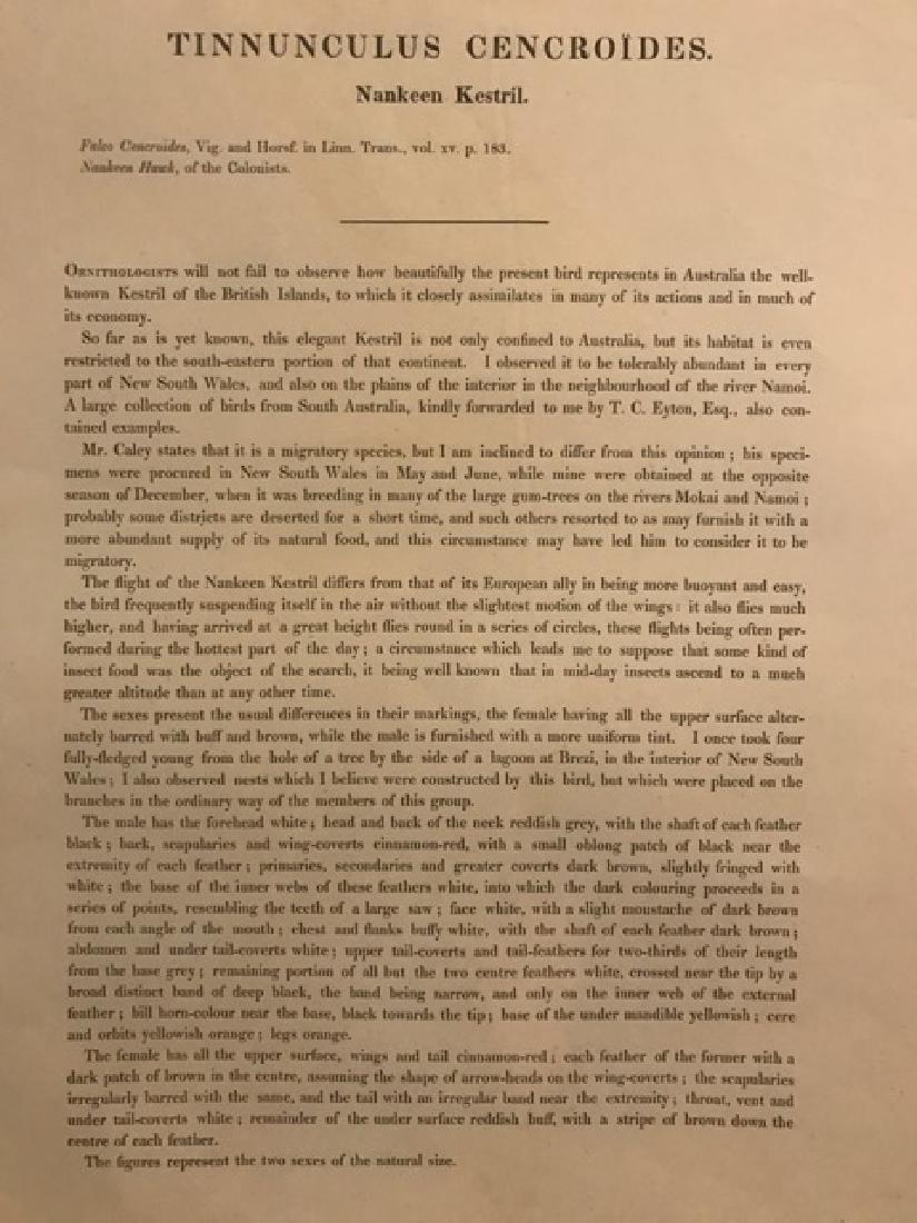 J. Gould Lithograph: Nankeen Kestril - 4