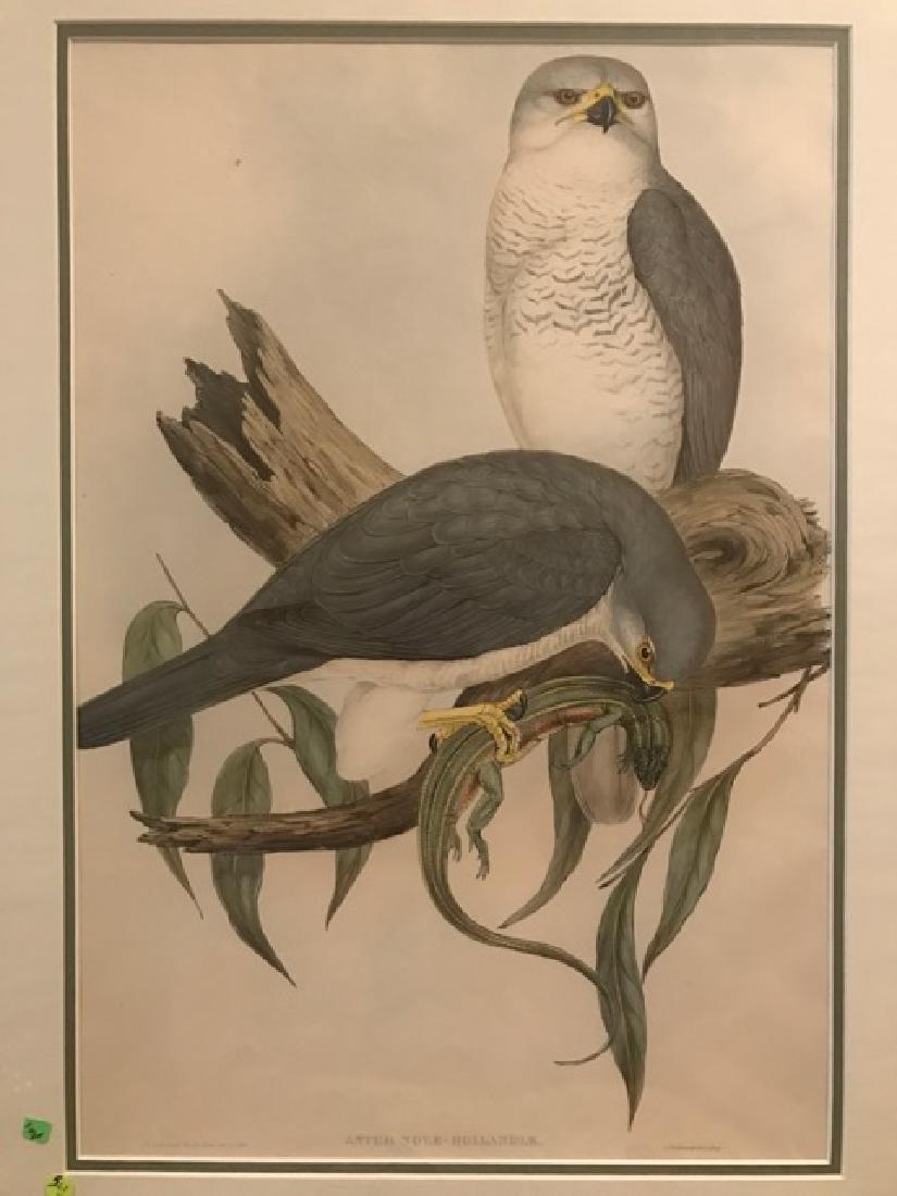 J. Gould Lithograph: Australian White Goshawk