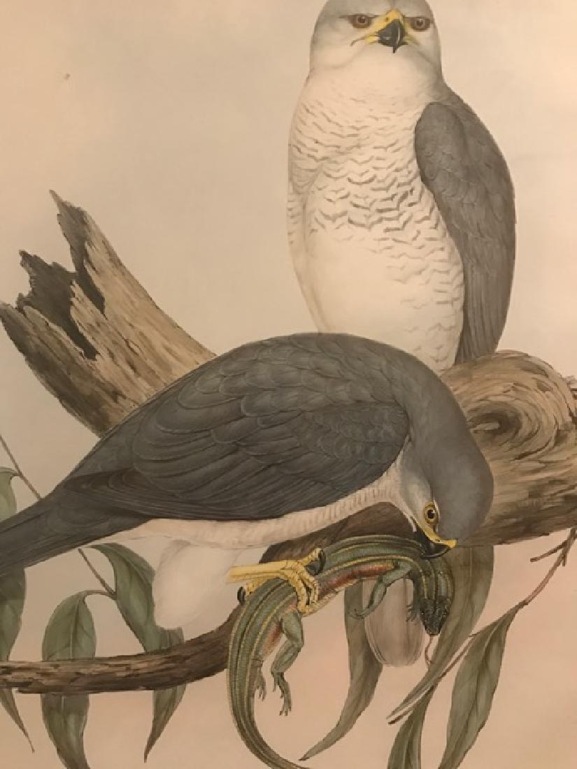 J. Gould Lithograph: Australian White Goshawk - 3