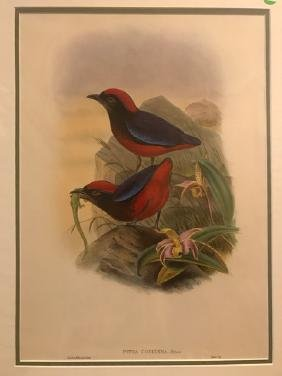 J. Gould Lithograph: Malaccan Pitta-Lizard Orchid