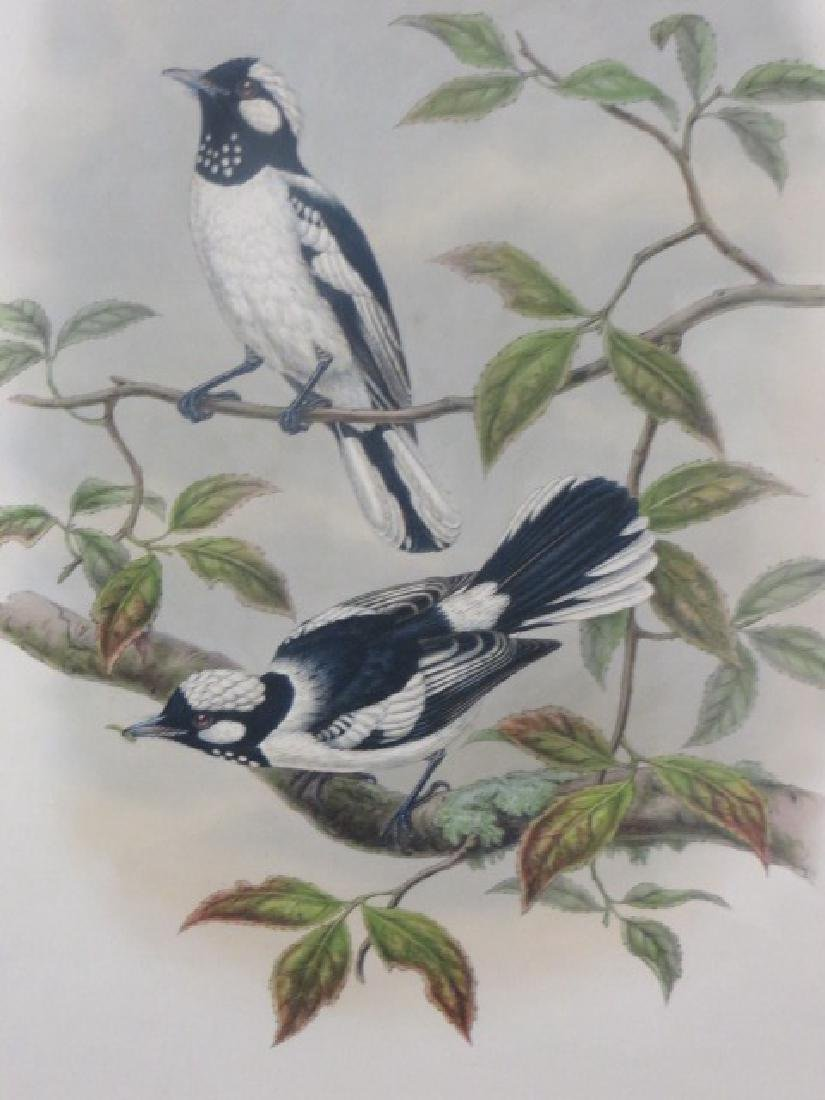 J. Gould Lithograph: White Crowned Flycatcher