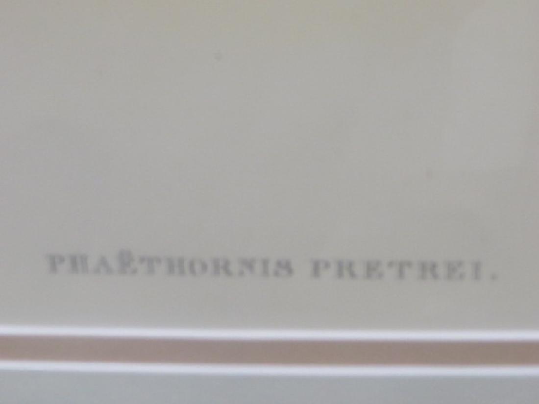 J. Gould Lithograph: Pretres Hermit - 2