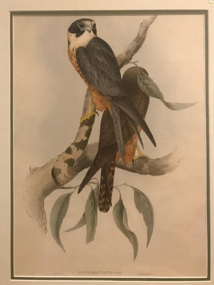 J. Gould Lithograph: White-Fronted Falcon