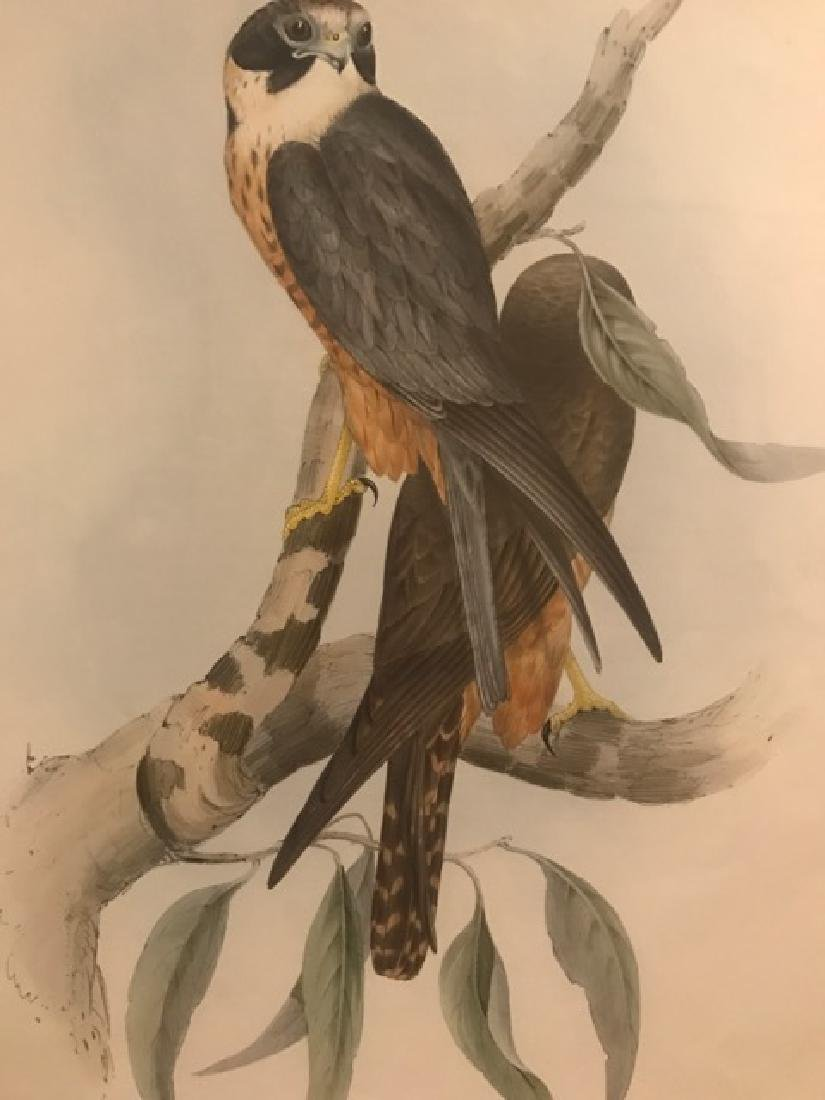J. Gould Lithograph: White-Fronted Falcon - 3