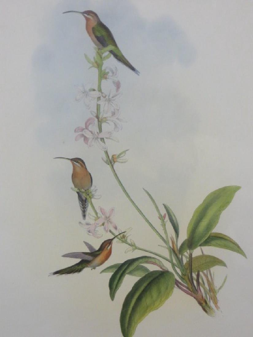 J. Gould Lithograph: Green-Tailed Hermit