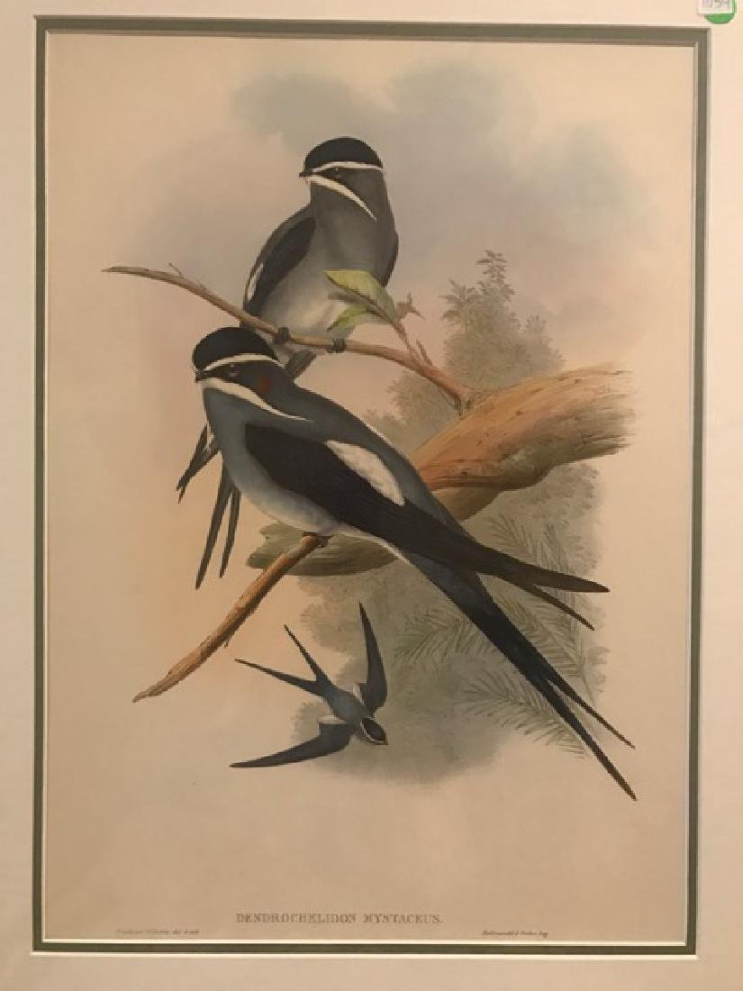 J. Gould Lithograph: Bearded Tree Swift