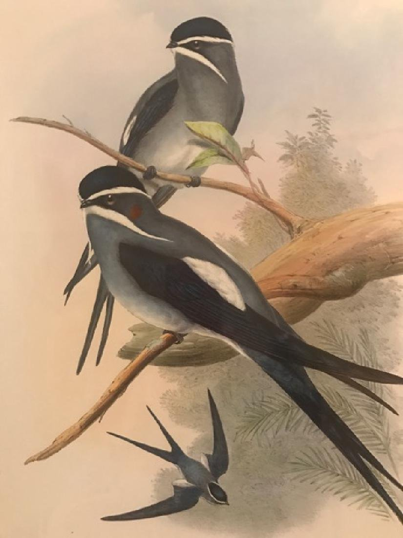 J. Gould Lithograph: Bearded Tree Swift - 3