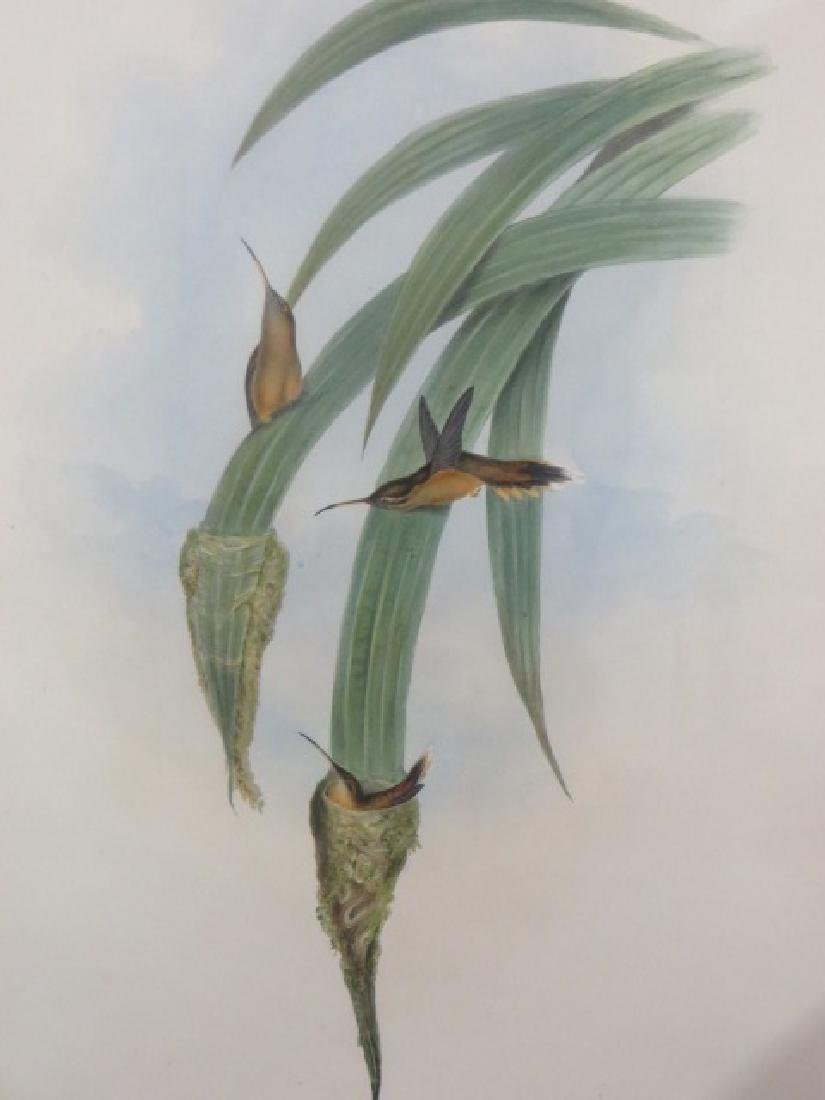 J. Gould Lithograph: Grey Throated Hermit