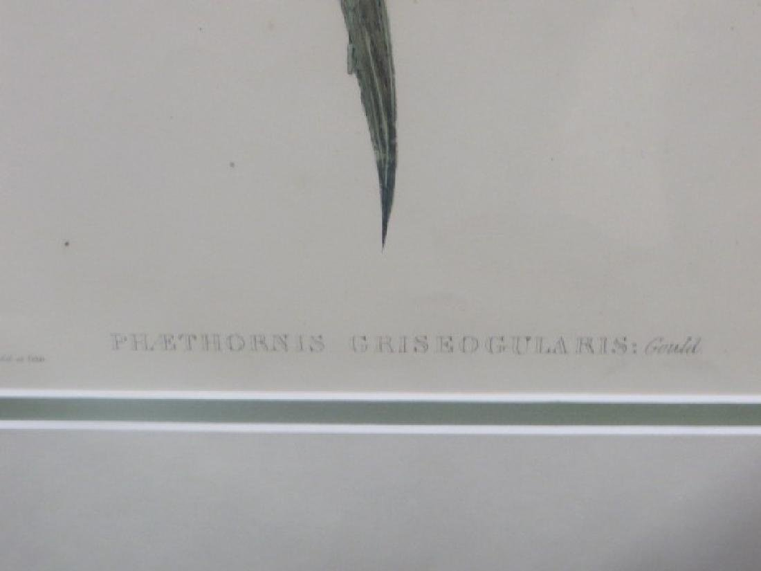 J. Gould Lithograph: Grey Throated Hermit - 2