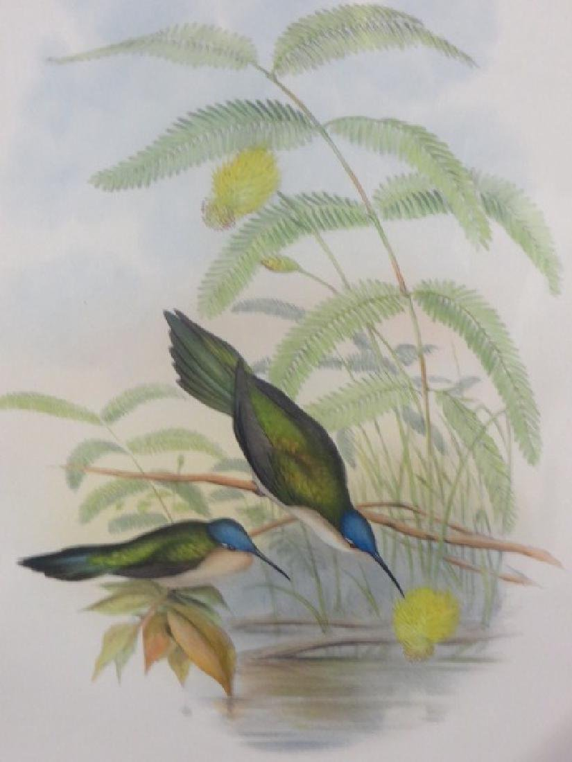 J. Gould Lithograph: Wedge-Tailed Sabre-Wing