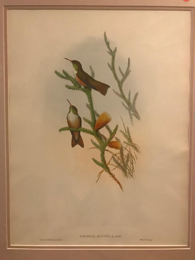 J. Gould Lithograph: Mountain Amazili