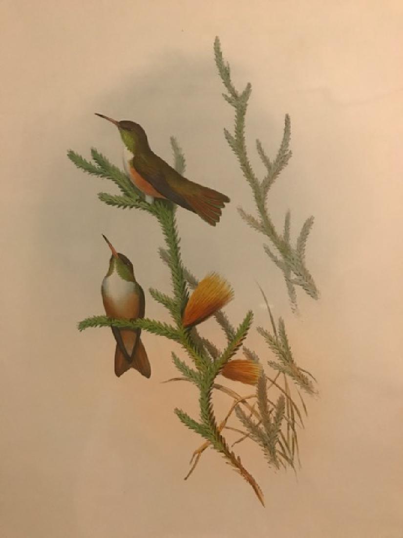 J. Gould Lithograph: Mountain Amazili - 3