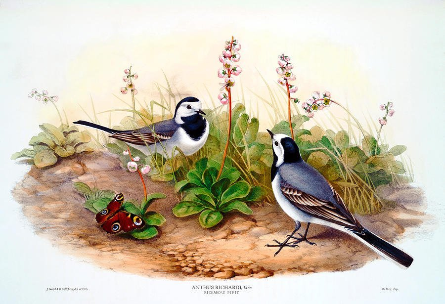 J. Gould Lithograph: Org. Pipit