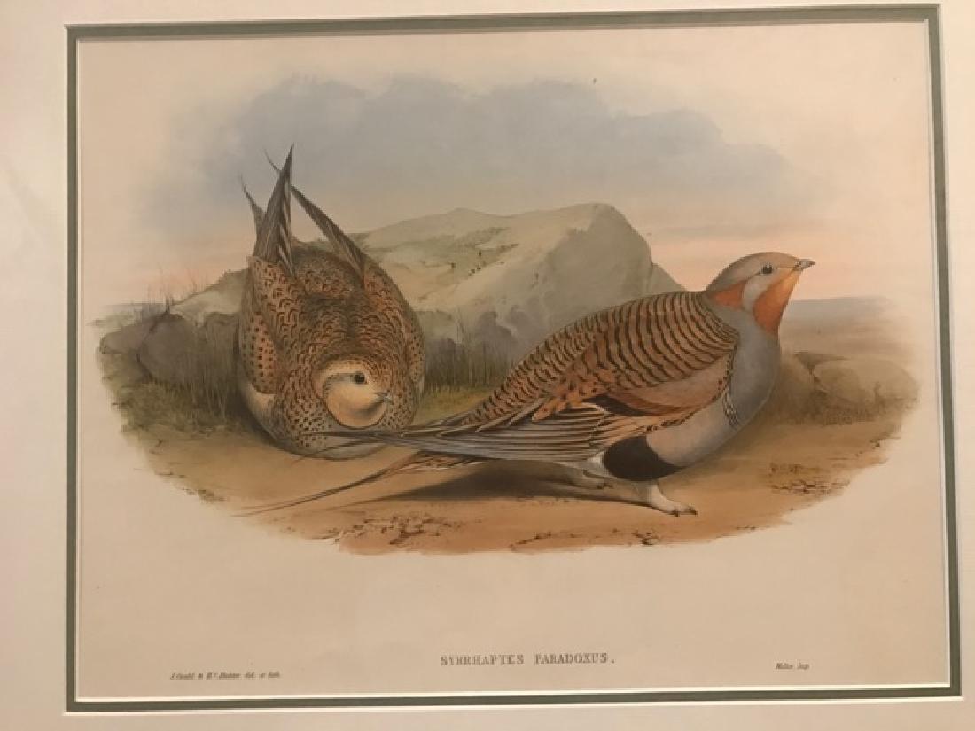 J. Gould Lithograph: Pallas'S Sandgrouse