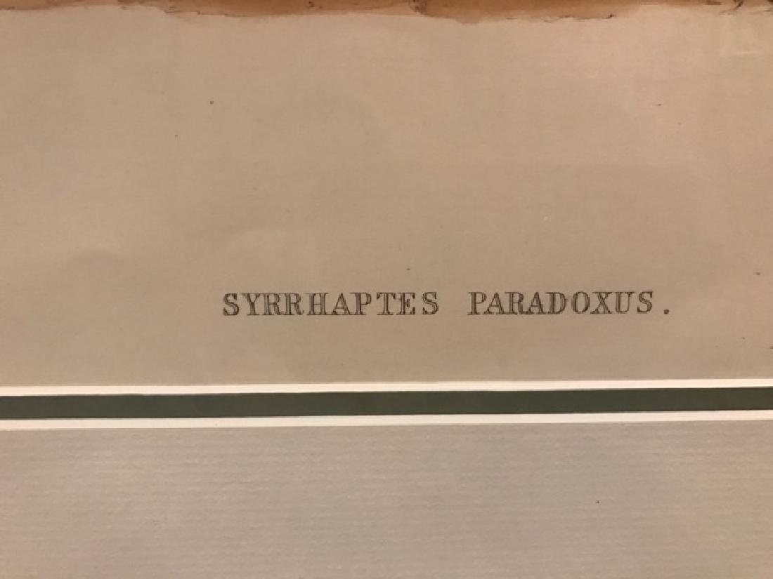 J. Gould Lithograph: Pallas'S Sandgrouse - 2