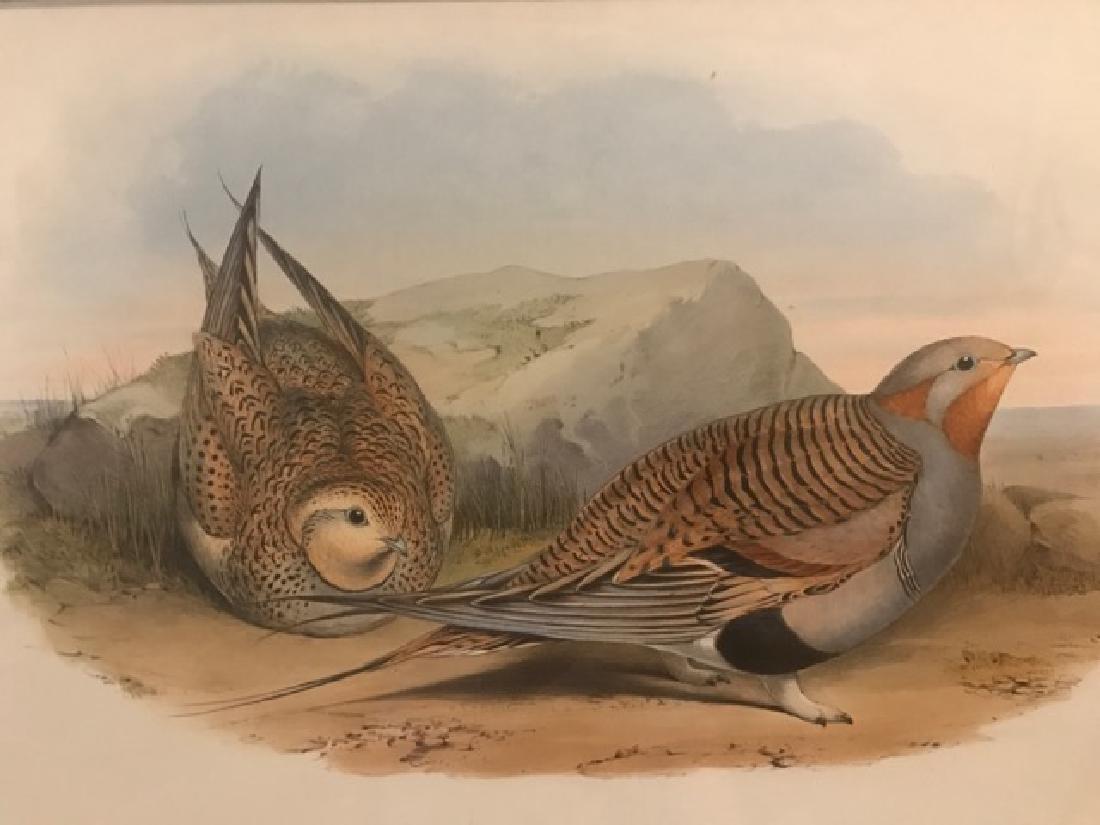 J. Gould Lithograph: Pallas'S Sandgrouse - 3