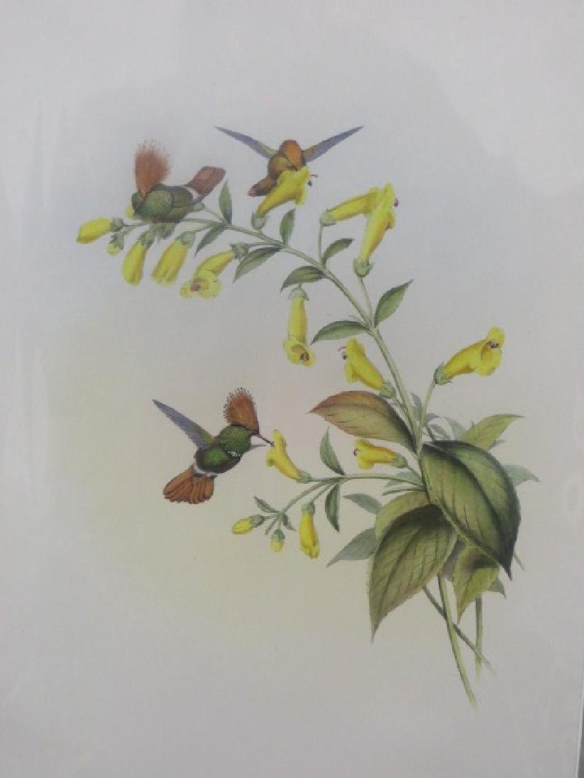 J. Gould Lithograph: Greatcrested Coquette