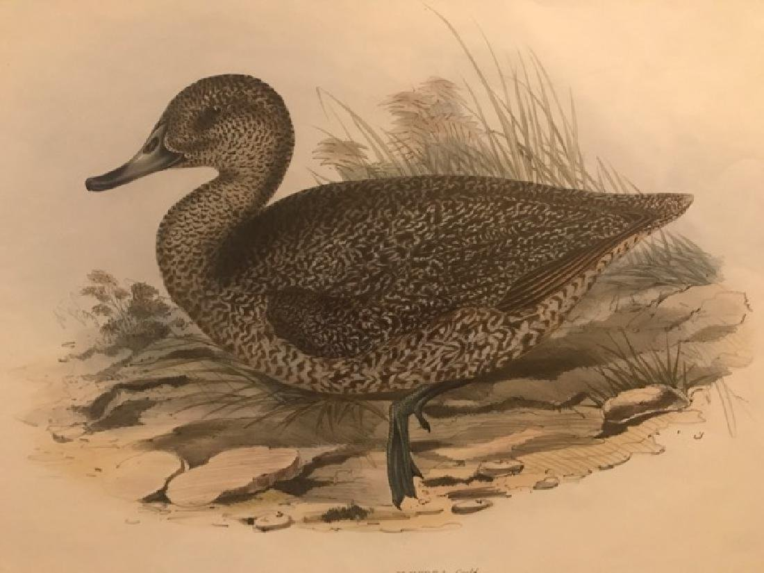 J. Gould Lithograph: Freckled Duck - 3