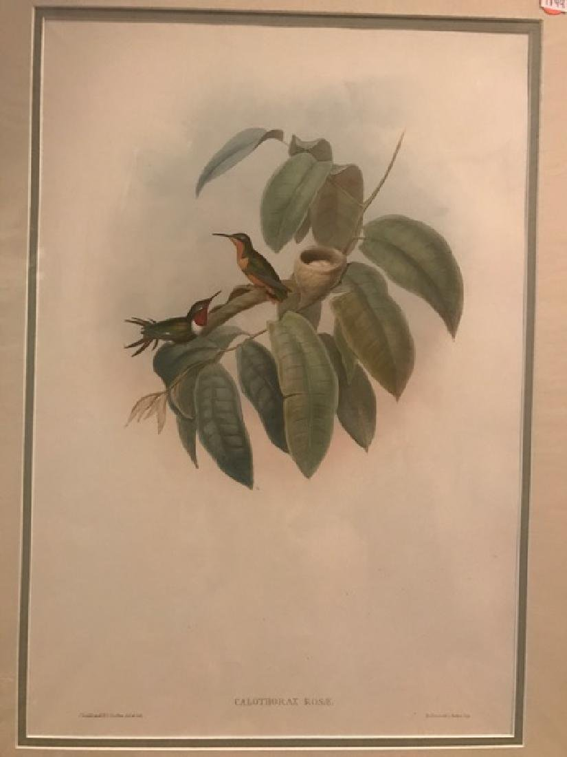 J. Gould Lithograph: Crimson-Throated Wood Star