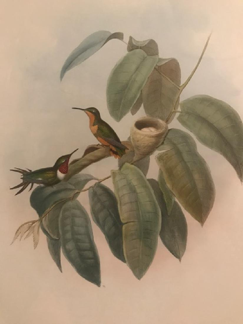 J. Gould Lithograph: Crimson-Throated Wood Star - 3