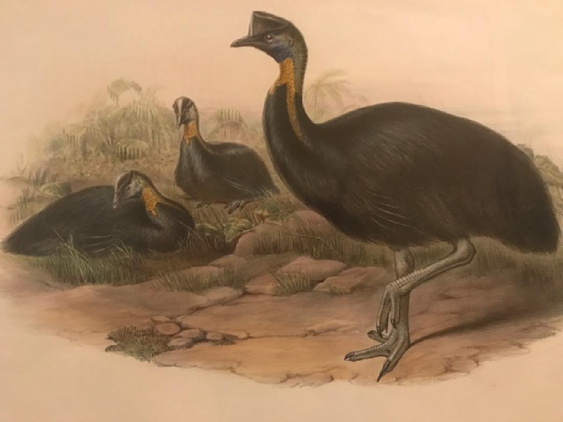 J. Gould Lithograph: One-Carunculated Cassowary - 3