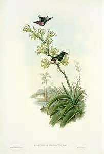 J. Gould Lithograph: Yarrells Wood Star