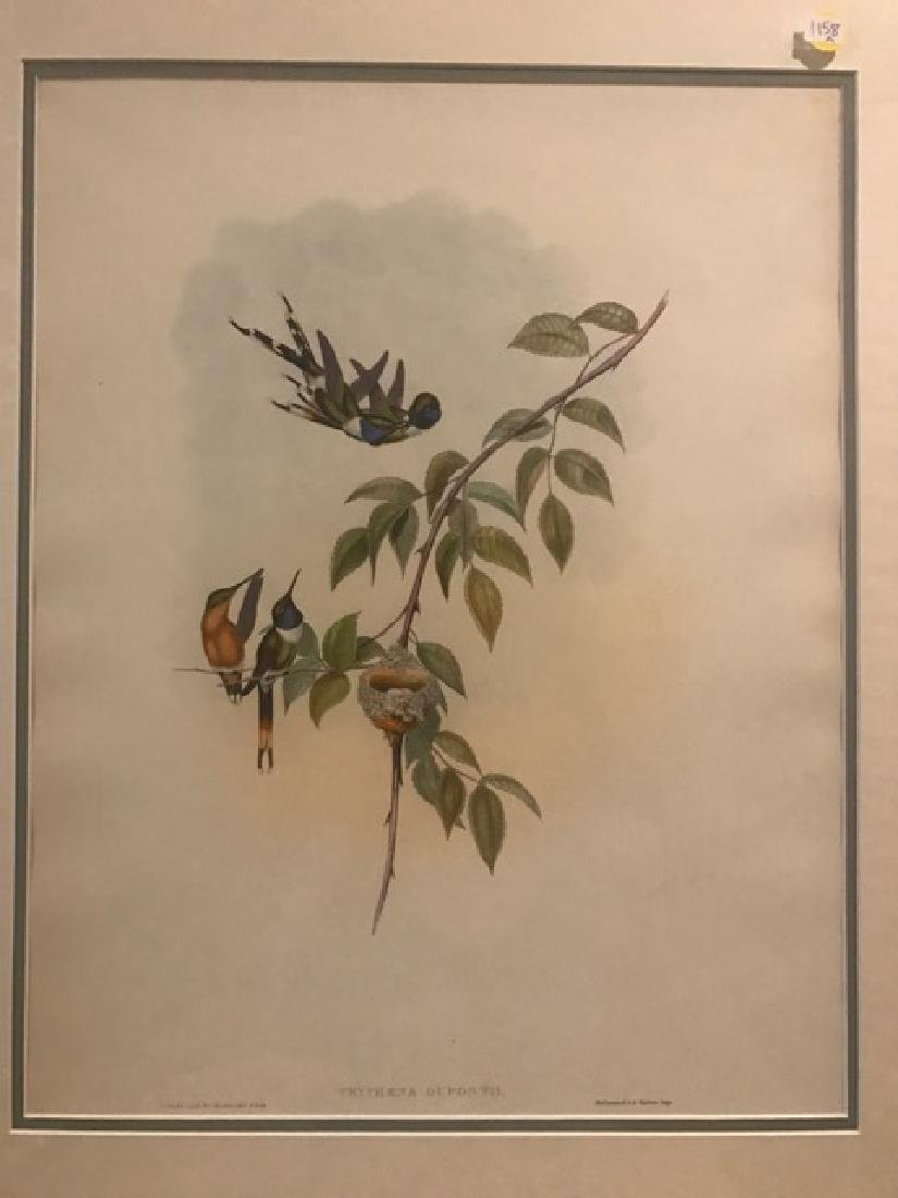 J. Gould Lithograph: Sparkling-Tail