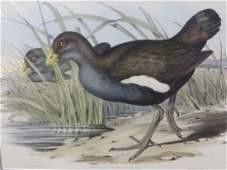 J Gould Lithograph Australian Native Hen