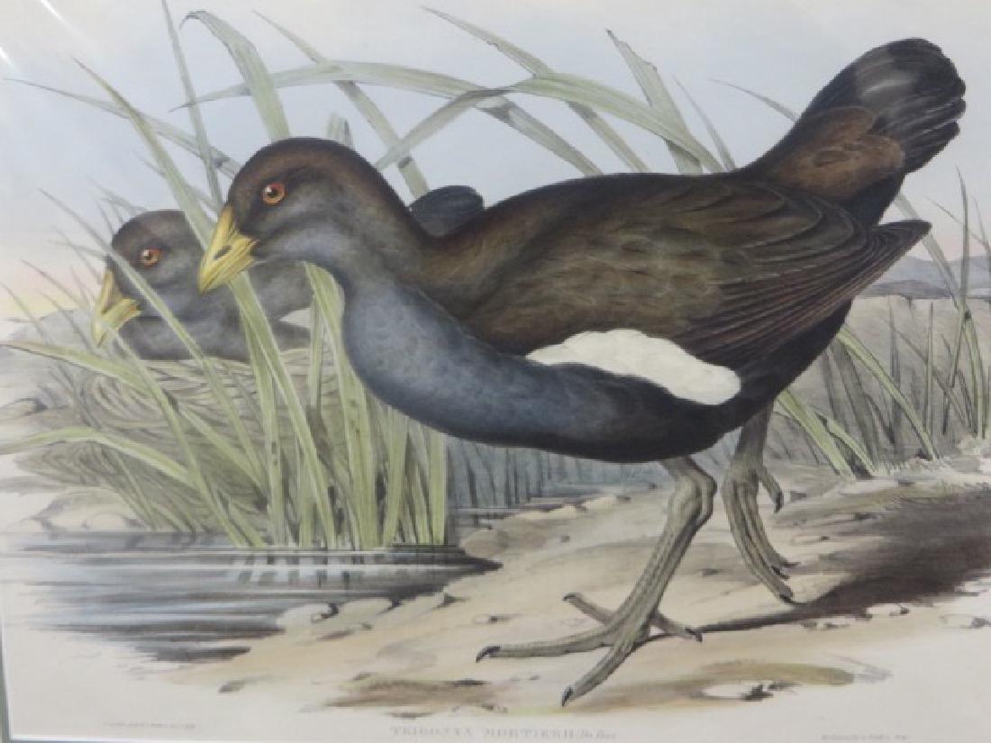 J. Gould Lithograph: Australian Native Hen
