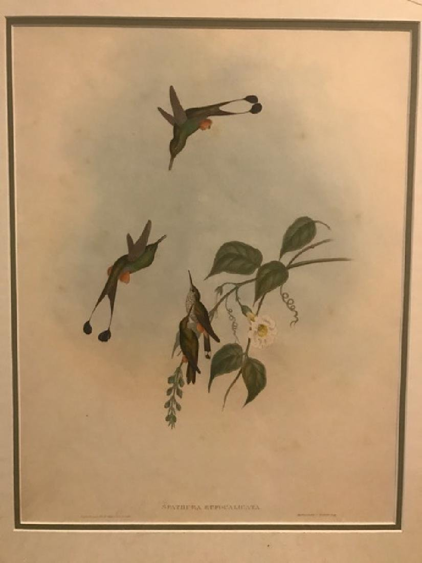 J. Gould Lithograph: Red Booted Racket-Tail